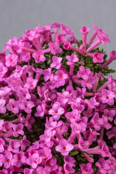 Daphne petraea 'Persebee' (Exhibitor: Martin & Anna Sheader)