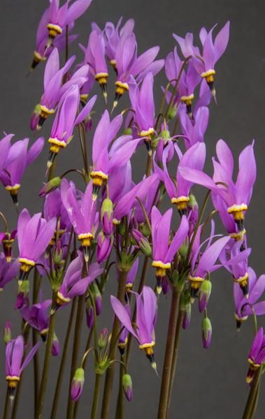 Dodecatheon pauciflorum (Exhibitor: Cecilia Coller)
