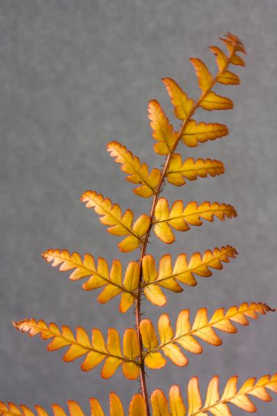 Dryopteris erythrosora (Exhibitor: Brenda Nickels)