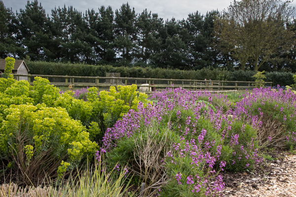 Euphorbia and Erysimum 'Bowles Purple'