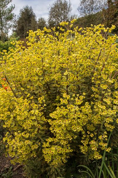Euphorbia characias subsp. wulfenii