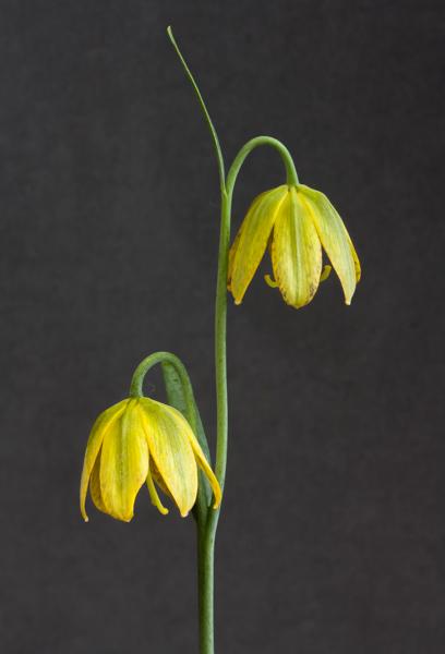 Fritillaria affinis (Exhibitor: Ben & Paddy Parmee)