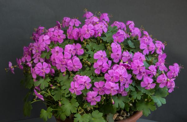 Geranium glaberrimum (Exhibitor: Robert Rolfe)