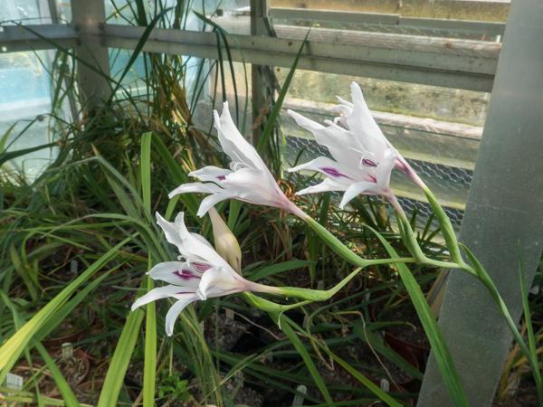 Gladiolus carneus 'Georgina'