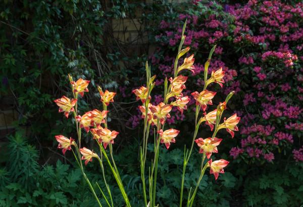Gladiolus tristis x. huttonii