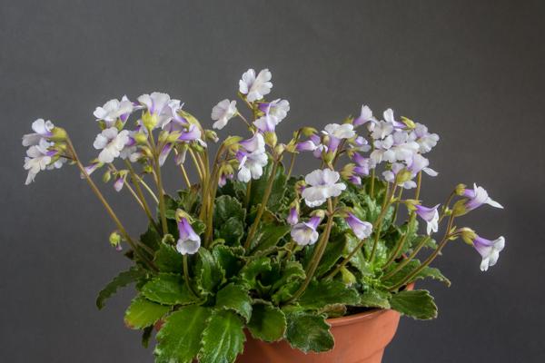 Haberlea ferdinandi-coburgii (Exhibitor: Ian Instone)