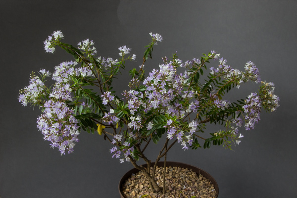 Hebe diosmifolia (Exhibitor: Russell Beeson)