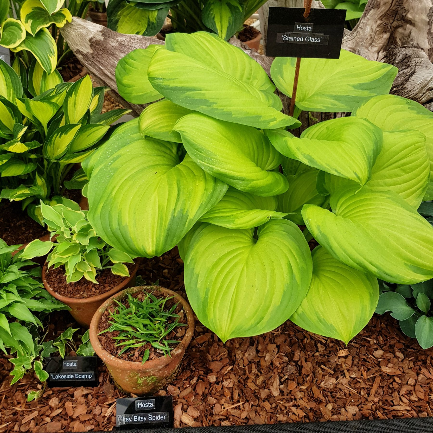 Hostas In Alpine Gardening Alpine Garden Society
