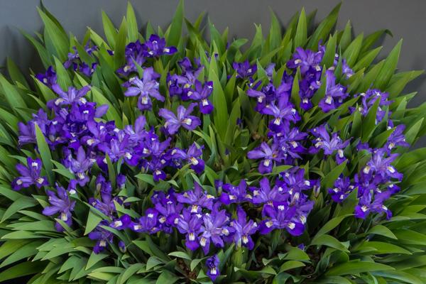 Iris cristata x. lacustris (Exhibitor: Anne Vale)