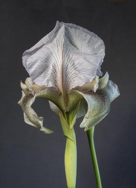 Iris gatesii