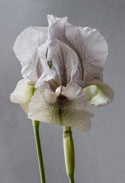 Iris gatesii (Grown by Robin White)