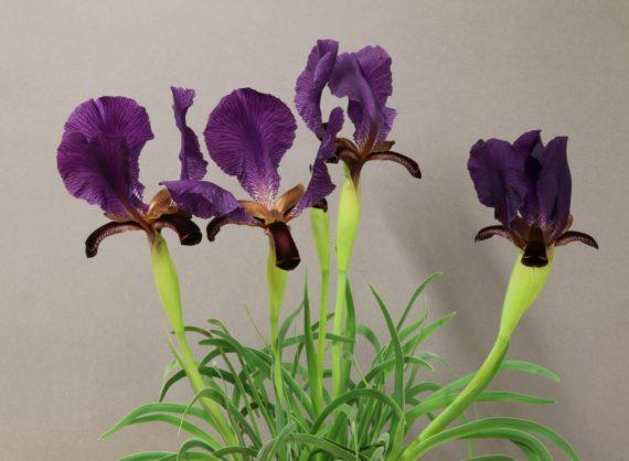 Iris paradoxa (Exhibitor: Peter Hood)
