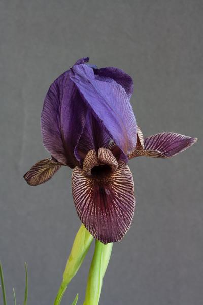 Iris paradoxa subsp. paradoxa x. acutiloba subsp. lineolata (Exhibitor: Michael Sullivan)