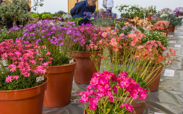 Six large pans of rock plants (Exhibitor: Martin Rogerson)