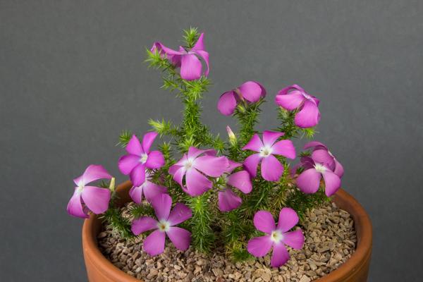 Leptodactylon californicum (Exhibitor: Dot Sample)