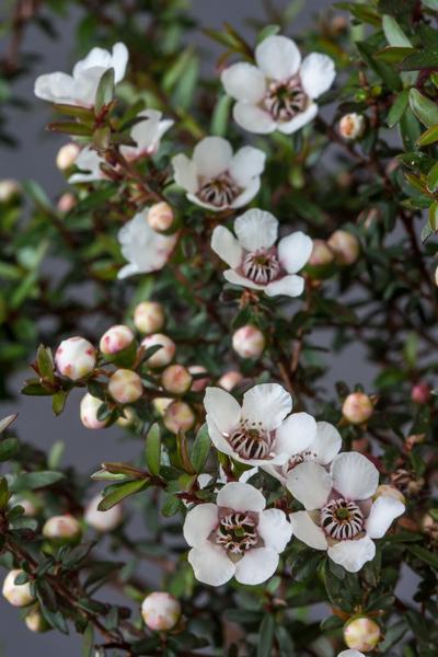Leptospermum scoparium nanum 'Kiwi' seedling (Exhibitor: Michael Sullivan)
