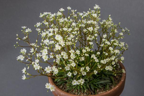 Lewisia leanna alba (Exhibitor: Peter Farkasch)