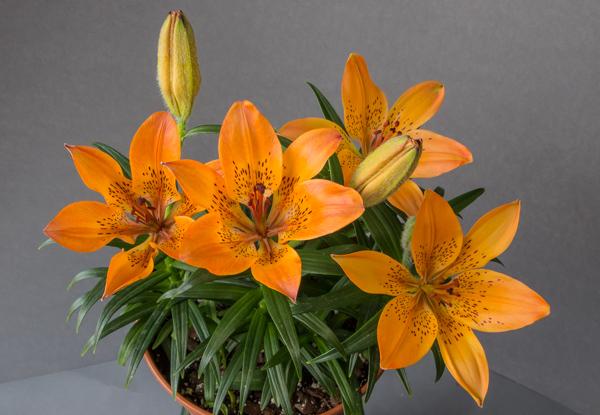 Lilium dauricum alpinum (Exhibitor: Peter Farkasch)