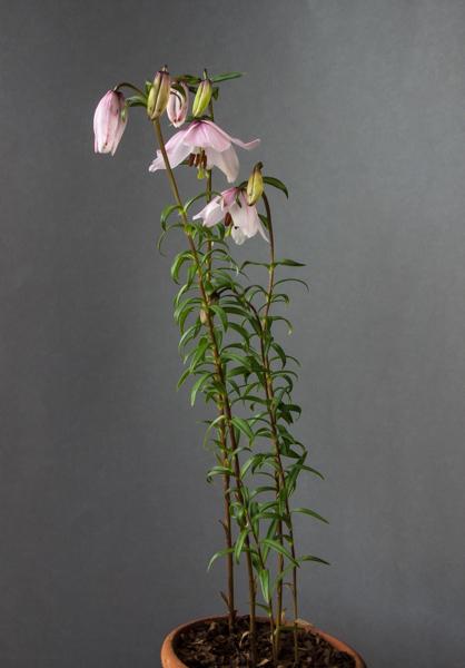 Lilium mackliniae (Exhibitor: Ben & Paddy Parmee)