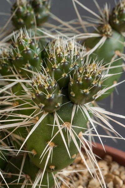 Maihueniopsis darwinii (Exhibitor: Andrew Ward)