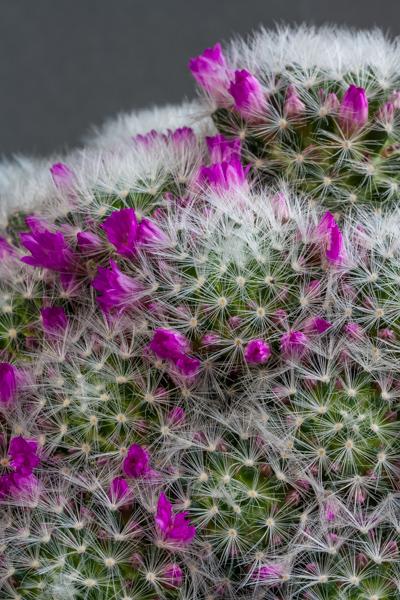 Mammillaria laui subsp. dasyacantha (Exhibitor: Anne Vale)