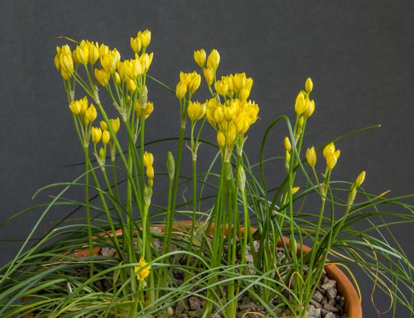 Nothoscordum montevidense (Exhibitor: Jon Evans)