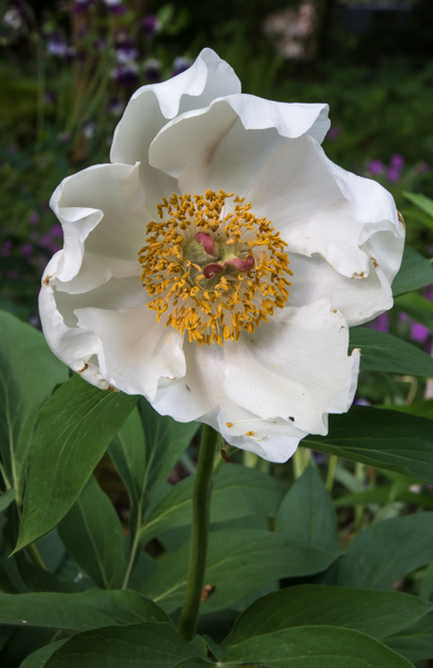 Paeonia mascula subsp. arietina