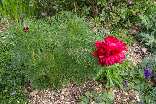 Paeonia tenuifolia 'Flore Pleno'