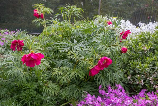 Paeonia x. smouthii