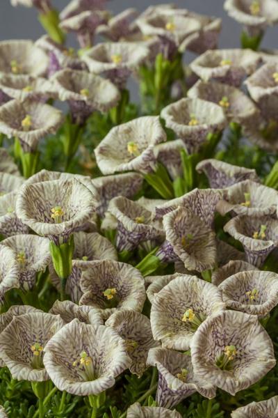 Petunia patagonica F+W 9290 (Exhibitor: Anne Vale)