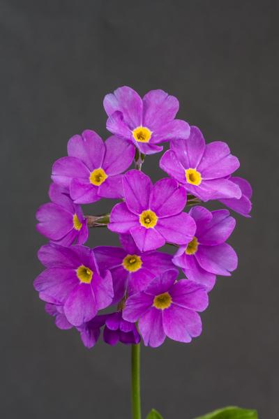 Primula rusbyi var. ellisiae (Exhibitor: Steven Squires)