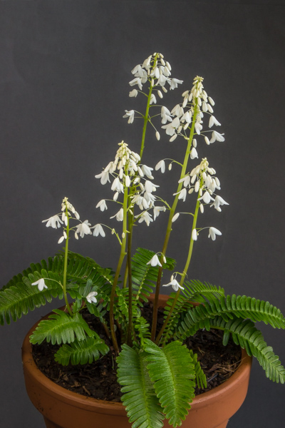 Pteridophyllum racemosum (Exhibitor: Anne Vale)