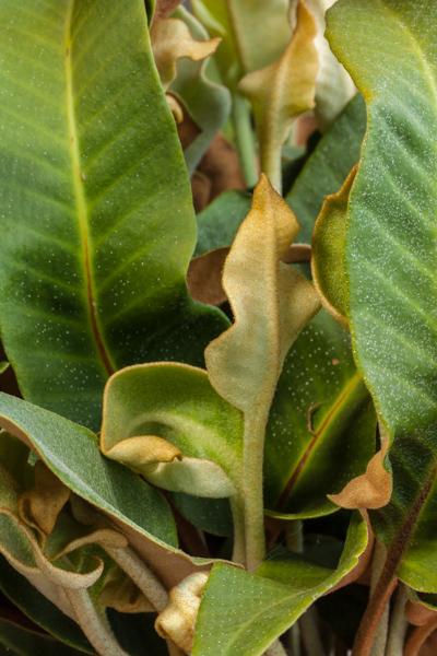 Pyrrosia drakeana (Exhibitor: Don Peace)