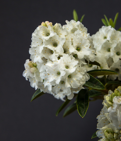 Rhododendron 'Arctic Tern' (Exhibitor: Anne Vale)