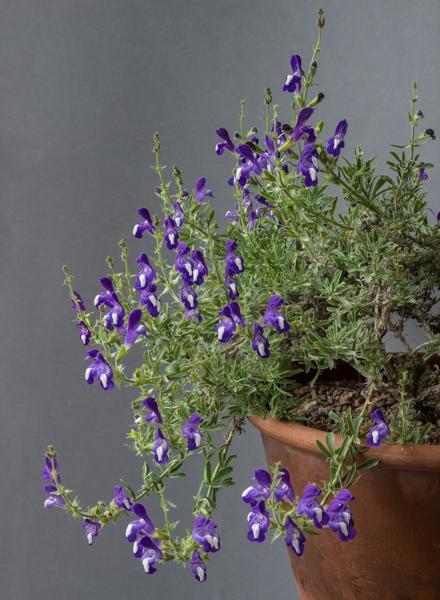 Salvia albimaculata (Exhibitor: Dot Sample)