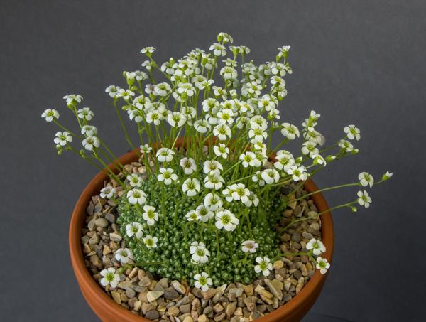 Saxifraga erioblasta (Exhibitor: Mark Childerhouse)