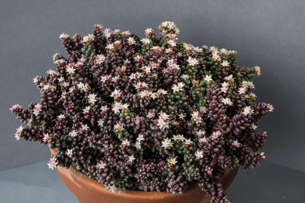 Sedum furfuraceum (Exhibitor: Michael Sullivan)