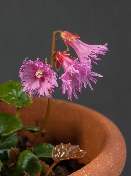 Shortia soldanelloides v. magna (Exhibitor: Ben & Paddy Parmee)