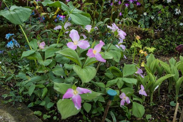 Trillium grandiflorum f. roseum