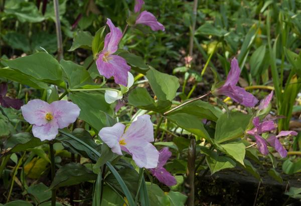 Trillium grandiflorum roseum