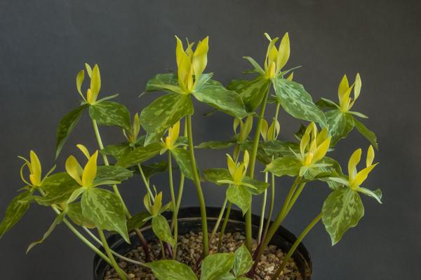 Trillium luteum (Exhibitor: Martin Rogerson)