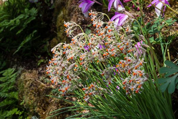 Tulbaghia leucantha