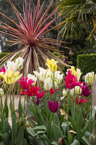 Tulips and Cordyline