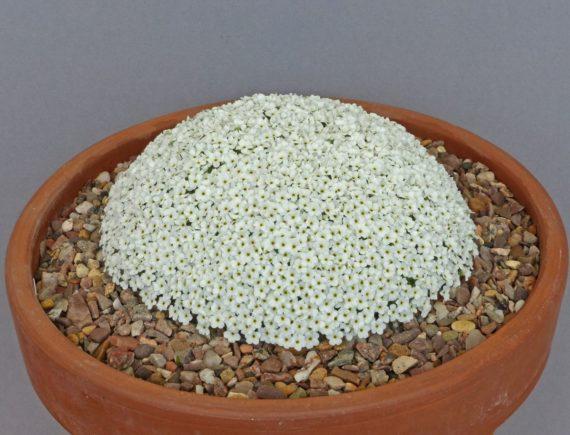 Androsace vandellii (Exhibitor: Don Peace)