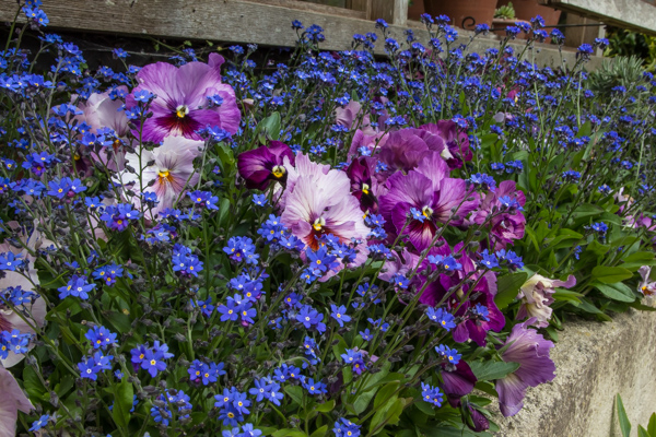 Forget-me-not in the bedding