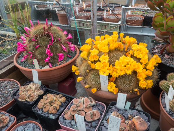 Cacti in specialist plant house