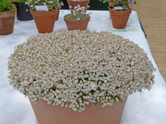 Farrer Medal: Cassiope lycopodioides 'Beatrice Lilley' (Exhibitor: Ian Kidman)