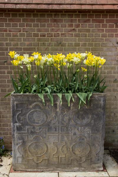 Courtyard tulips