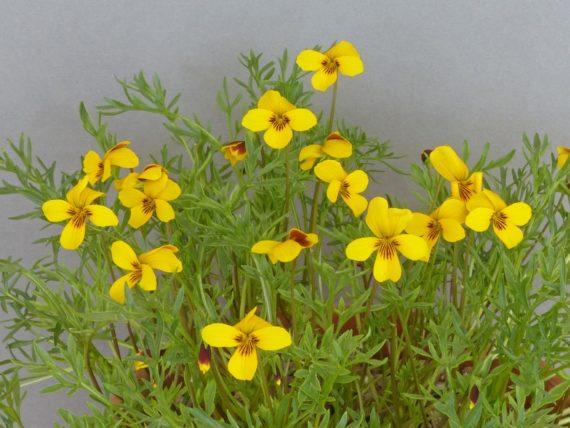 Viola douglasii (Exhibitor: Ian Kidman)