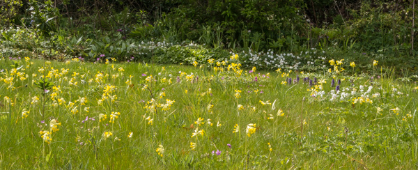 Cowlsips in the alpine meadow
